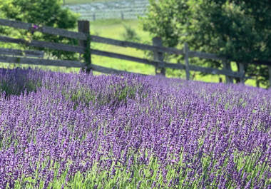 Lavendar Flowers for Health and Beauty